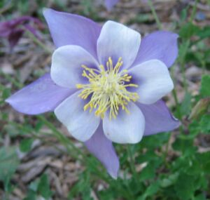 コロラドの花 コロンバイン