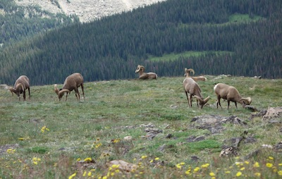 Mountain sheep, Rocky Mountain National Park