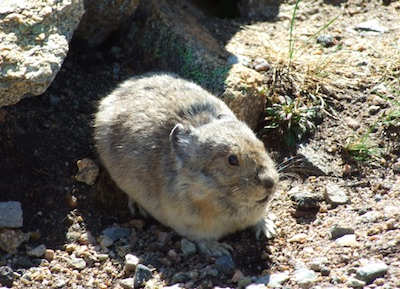 Pikas, Rocky Mountain National Park
