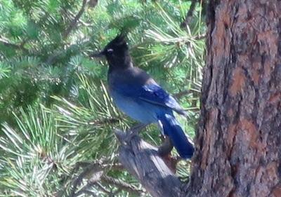 青い鳥 Estes Park コロラド