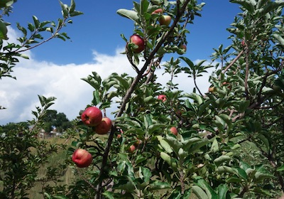 りんご狩り Nelson Farm ゴールデン コロラド