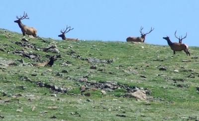 ロッキー山脈国立公園 エルク