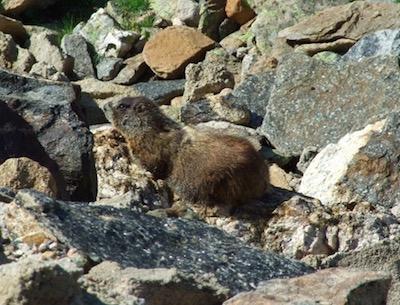 ロッキー山脈国立公園 モルモット