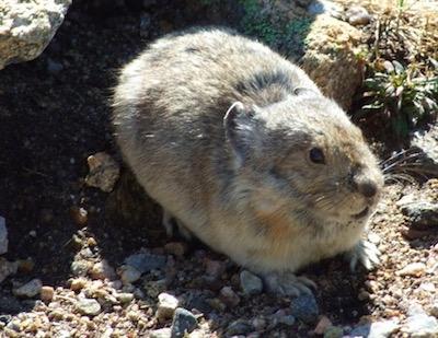 ロッキー山脈国立公園 パイカ