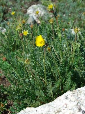 ロッキー山脈国立公園 花