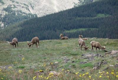 ロッキー山脈国立公園 ヤギ