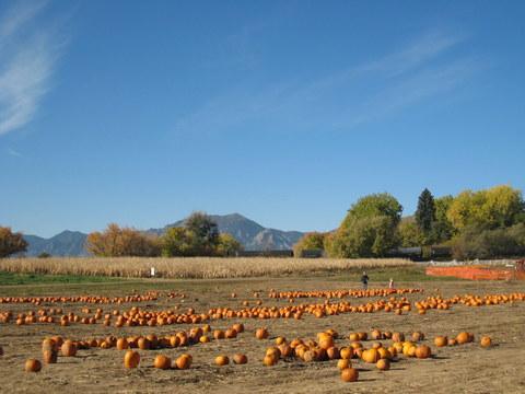 Cottonwood Farm コロラド かぼちゃ刈り